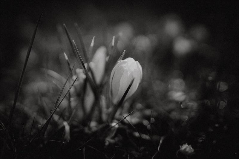 Krokusse ohne Makroobjektiv fotografieren - Sigma 35mm F1,4
