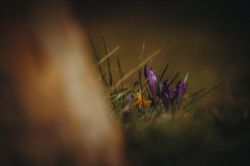 Krokusse ohne Makroobjektiv fotografieren - Sony 70-200mm F4.0